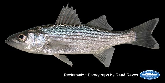 striped_bass_young_adult