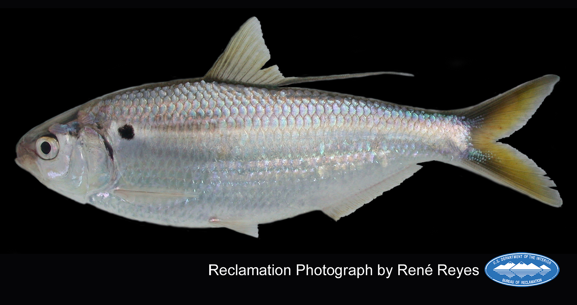 threadfin_shad_adult