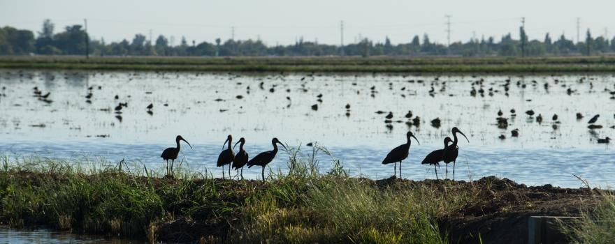 Birds in rice fields sliderbox