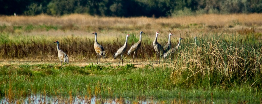 sandhill-cranes-at-stone-lakes-refuge-usfws
